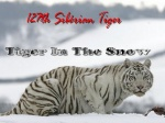 Campagne:Tiger In The Snow